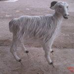 Afyon Keçisi Figürü