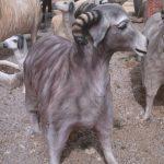 Afyon Keçisi Maketi