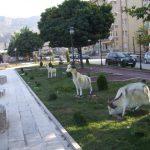 Ankara Keçisi Figürü