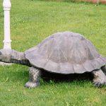 Büyük Kaplumbağa Figürü
