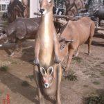 Kanguru Maketi