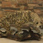 Kayada Asya Leoparı Heykeli