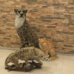 Oturan Asya Leoparı Maketi