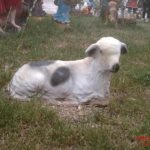 Yatan Mini Koyun Figürü